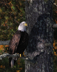 A Bald Eagle perches in a white pine tree.  9730 drive 7