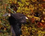 A Bald Eagle flies over.  9737 drive 7