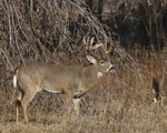 A White-tailed Deer buck stands at the edge of a prairie.  743 drive 7