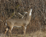A White-tailed Deer buck reaches up to feed.  747 drive 7
