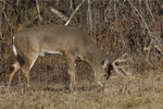 A White-tailed Deer buck feeds at the edge of a prairie.  753 drive 7