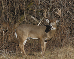 A White-tailed Deer buck stands at the edge of a prairie.  756 drive 7