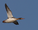 A Red-breasted Merganser hen flies over  1738 drive 7