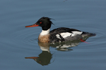 A Red-breasted Merganser swims along.  1616 drive 7