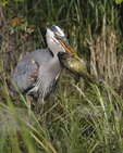 A Great blue Heron holds onto its catch.  5418 drive 4