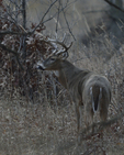 A White-tailed Deer buck pauses in a prairie.  2040 drive 8