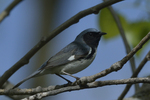 A Black-throated Blue Warbler perches in a tree.  5609 drive 8