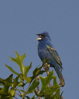 A Blue Grosbeak sings atop an oak tree.  6383 drive 8