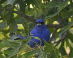 A Blue Grosbeak perches in an oak tree.  6446 drive 8