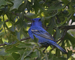 A Blue Grosbeak sings in an oak tree.  6447 drive 8