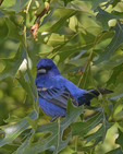 A Blue Grosbeak perches in an oak tree.  6450 drive 8