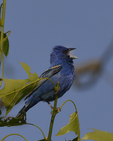 A Blue Grosbeak sings in an oak tree. 
