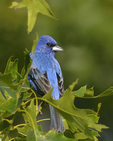 A Blue Grosbeak perches in an oak tree.  6607 drive 8