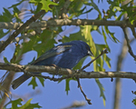 A Blue Grosbeak perches in an oak tree.  6613 drive 8