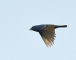 A Blue Grosbeak flies by.  6976 drive 8
