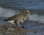 A White-fronted Goose moves to the water.  651 drive 8