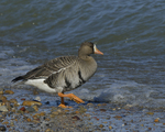 A White-fronted Goose moves to the water.  652 drive 8
