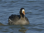 A White-fronted Goose moves along on the water.  655 drive 8