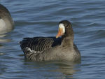 A White-fronted Goose moves along on the water.  656 drive 8
