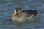 A White-fronted Goose moves along on the water.  659 drive 8