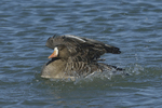 A White-fronted Goose takes a bath.  664 drive 8