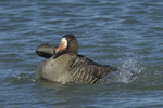 A White-fronted Goose takes a bath.  665 drive 8