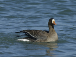 A White-fronted Goose moves along on the water.  669 drive 8