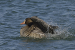 A White-fronted Goose takes a bath.  679 drive 8
