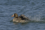 A White-fronted Goose takes a bath.  680 drive 8