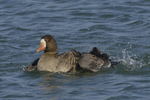A White-fronted Goose takes a bath.  681 drive 8
