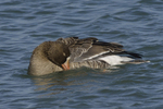 A White-fronted Goose takes a bath.  686 drive 8