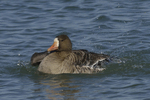 A White-fronted Goose takes a bath.  687 drive 8