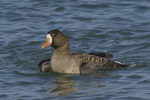 A White-fronted Goose takes a bath.  690 drive 8