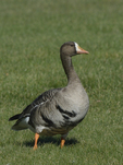 A White-fronted Goose stands on the grass.  571 drive 8