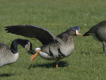 A White-fronted Goose spreads its wings and stretches.  575 drive 8
