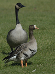 A White-fronted Goose stands on the grass.  578 drive 8