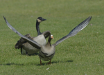 A White-fronted Goose starts to fly up.  580 drive 8