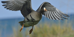 A White-fronted Goose flies up.  583 drive 8