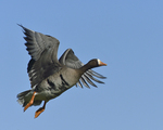 A White-fronted Goose flies by.  587 drive 8