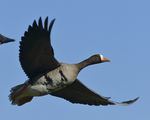 A White-fronted Goose flies by.  588 drive 8