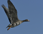 A White-fronted Goose flies up.  591 drive 8