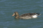 A White-fronted Goose moves along in the water.  594 drive 8