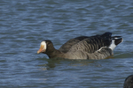 A White-fronted Goose moves along in the water.  595 drive 8
