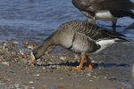 A White-fronted Goose goes up on shore.  597 drive 8