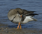 A Greater White-fronted Goose preens on shore.  793 drive 8