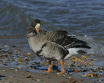 A Greater White-fronted Goose preens on shore.  809 drive 8
