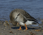 A Greater White-fronted Goose preens on shore.  811 drive 8