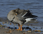 A Greater White-fronted Goose preens on shore.  814 drive 8