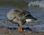 A Greater White-fronted Goose preens on shore.  818 drive 8