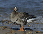 A Greater White-fronted Goose stands on shore.  819 drive 8